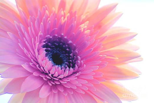 Bright Gerbera by Wendy Riley- Athans