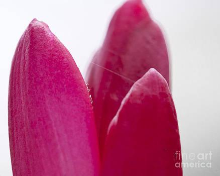 Darcy Michaelchuk - Bright Pink Petals