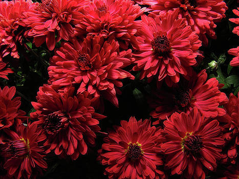 Scott Hovind - Bright Red Mums