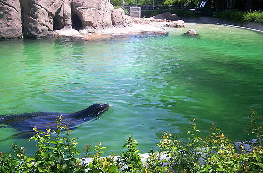 Bronx Zoo Seal by Emily Lambert