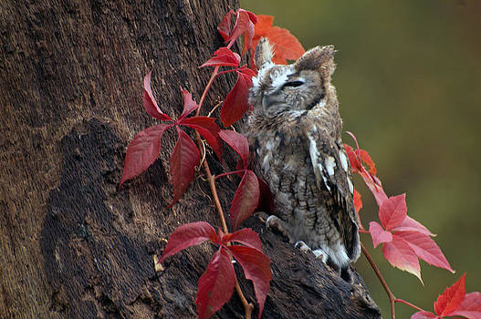Brown screech owl by Cheryl Cencich