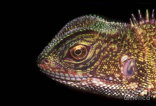 Dante Fenolio - Brown Wood Lizard