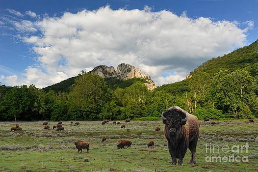 Dan Friend - Buffalo at Seneca Rocks WV