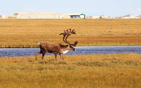 Bull Caribou in Arctic Oilfield by Wyatt Rivard