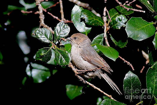 Wingsdomain Art and Photography - Bushtit Bird On A Tree . 40D8141