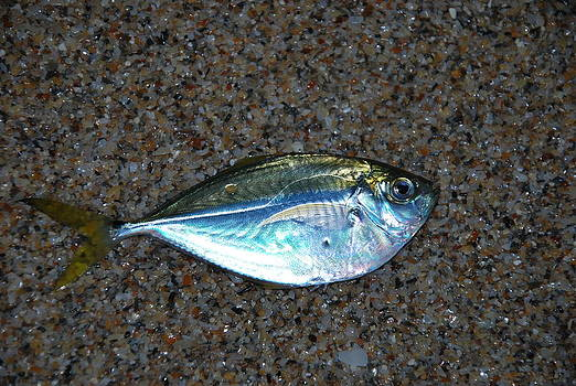 Butterfish on Beach Sand by Ken  Collette