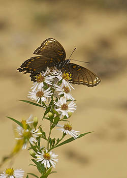 Michael Peychich - Butterfly 3321