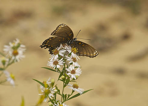 Michael Peychich - Butterfly 3322