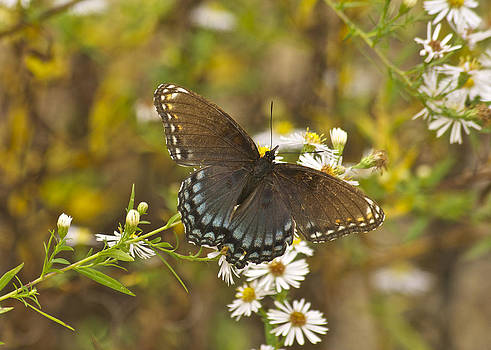 Michael Peychich - Butterfly 3325