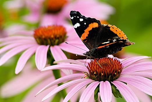 Larry Ricker - Butterfly and Cone Flowers
