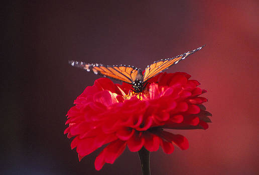 Butterfly and Red Me by Bob Whitt