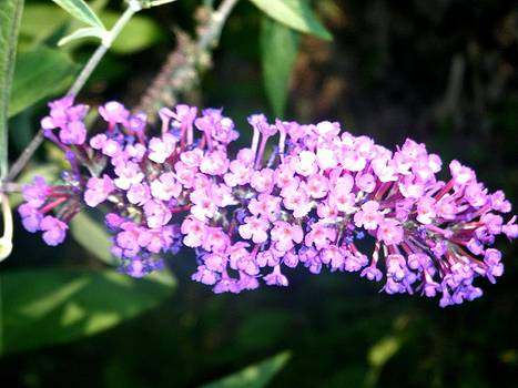 Butterfly Bush by Cammie Keller