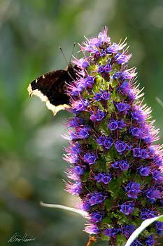 Diana Haronis - Butterfly Bush