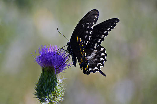 Butterfly feast by Cheryl Cencich