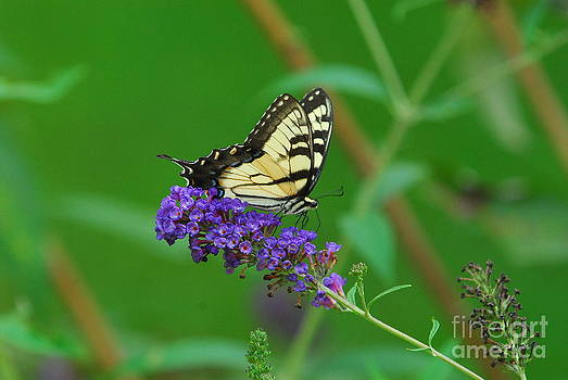 Butterfly I by Curtis Brackett
