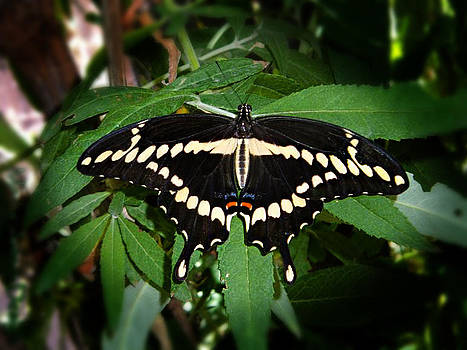 Butterfly by Jessica Jimerson