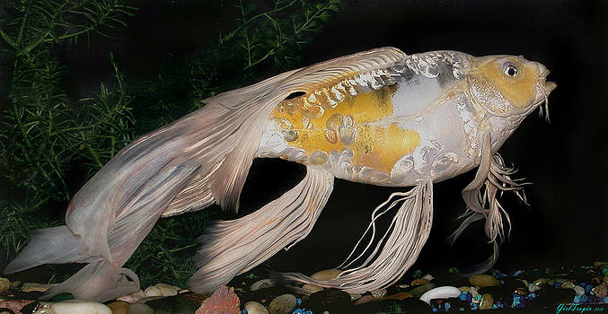 Janna morrison artwork for sale ontario ca united for Large butterfly koi for sale