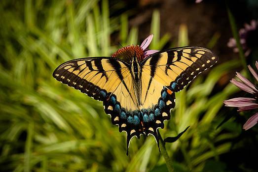 Butterfly on Cone Flower by Jen Morrison