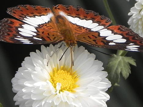 Butterfly on Flower by Arindam Raha
