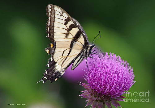 Tannis  Baldwin - Butterfly Thistle 1