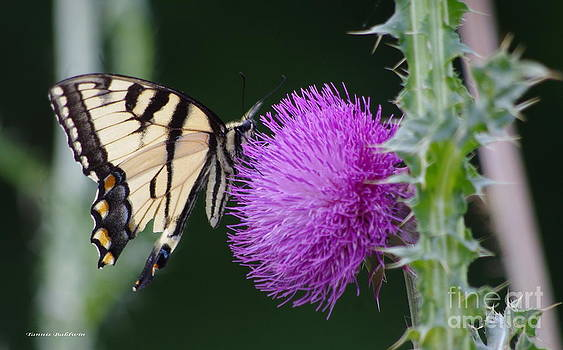 Tannis  Baldwin - Butterfly thistle