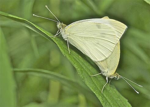 Michael Peychich - Cabbage White Butterflies 5267