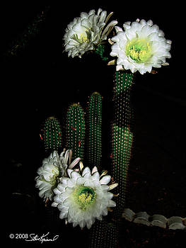 Steve Knievel - Cactus Flower Blooms at Night Only
