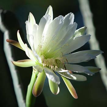 Gilbert Artiaga - Cactus Flower