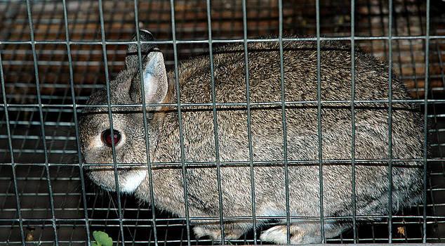 LeeAnn McLaneGoetz McLaneGoetzStudioLLCcom - Caged Rabbit
