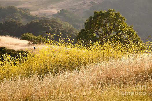 California Mustard Fields by Matt Tilghman