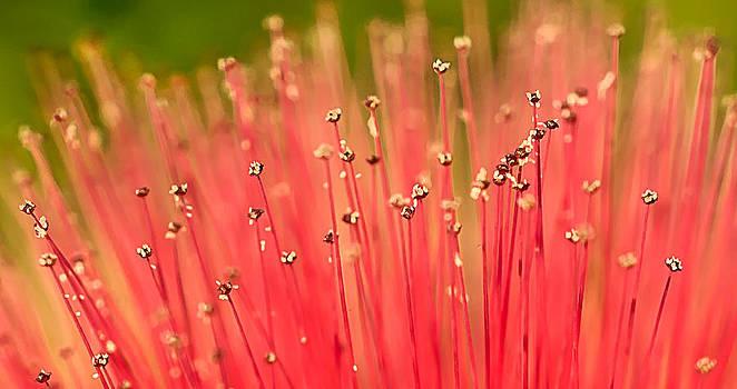 Calliandra Flower by Mariola Szeliga