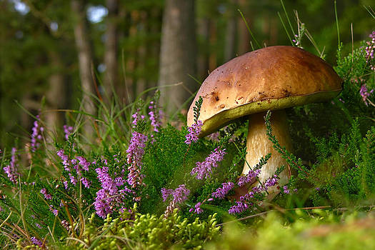 Calluna vulgaris known as Common Heather ling or simply heather and big edible mushroom cep by Marek Mierzejewski