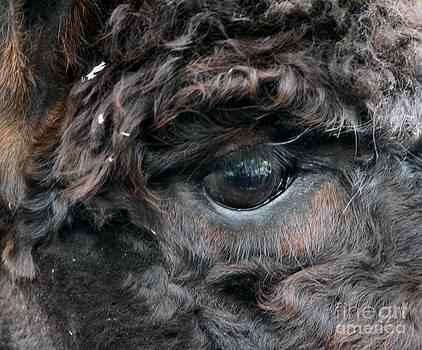 Camel Eye by Freda Sbordoni