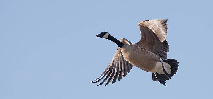 Canada Goose In Flight by Sam Amato