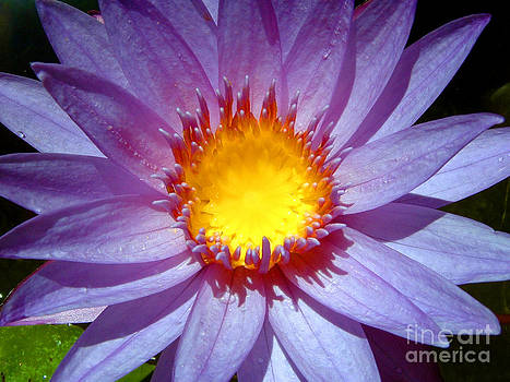 Cape Blue Water Lily by Serena Bowles