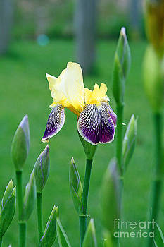 Cape cod iris by Louis Sarkas