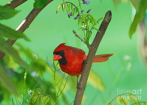 Cardinal by Curtis Brackett