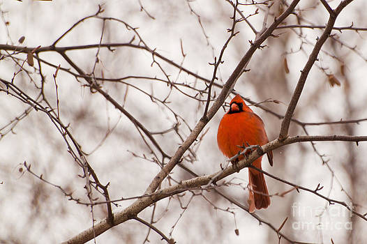 Cardinal in its Red Beauty by Christine Amstutz