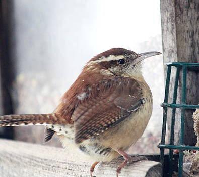 Diane Merkle - Carolina Wren