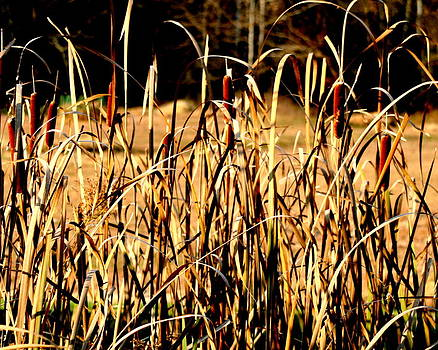 Diane Merkle - Cattails