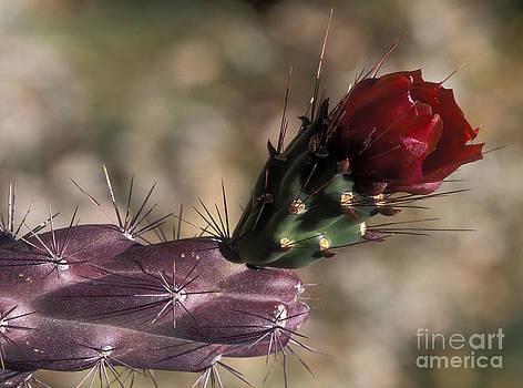 Sandra Bronstein - Chain Cholla Cactus Bloom