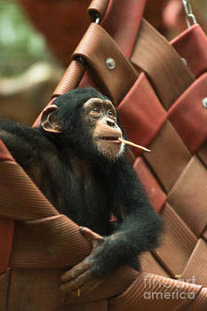 Cheeky Chimp by Andrew  Michael
