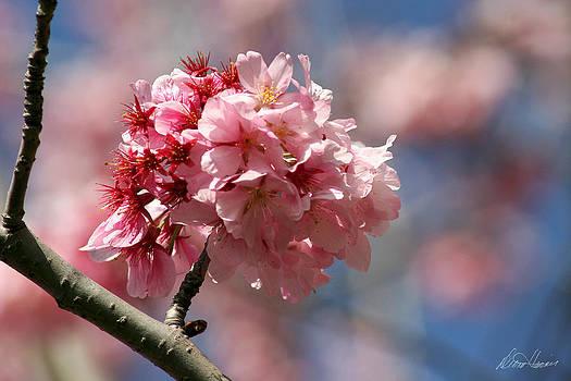 Diana Haronis - Cherry Blossoms