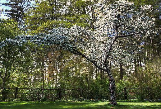 Matt Dobson - Cherry Blossoms