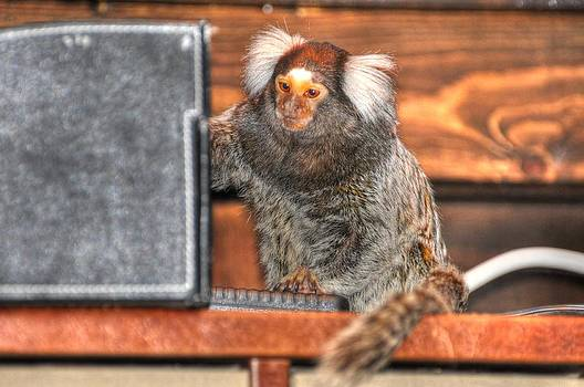 Chewy the Marmoset by Barry R Jones Jr