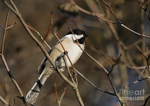 Chickadee Mesange by Nicole  Cloutier Photographie Evolution Photography
