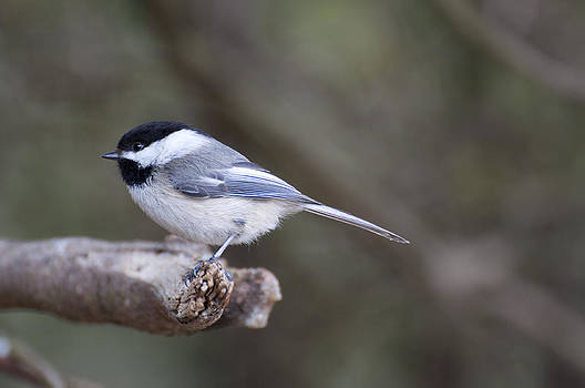Chickadee  by Roger Lewis