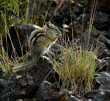 Chipmunk at Craters of the Moon by Laurie Penrod