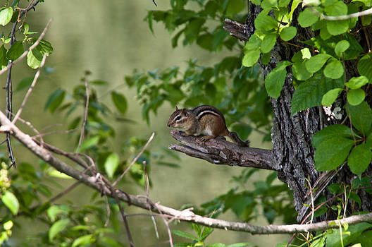 Chipmunk by Ron Smith