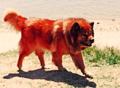 Chow Chow by Charles Benavidez